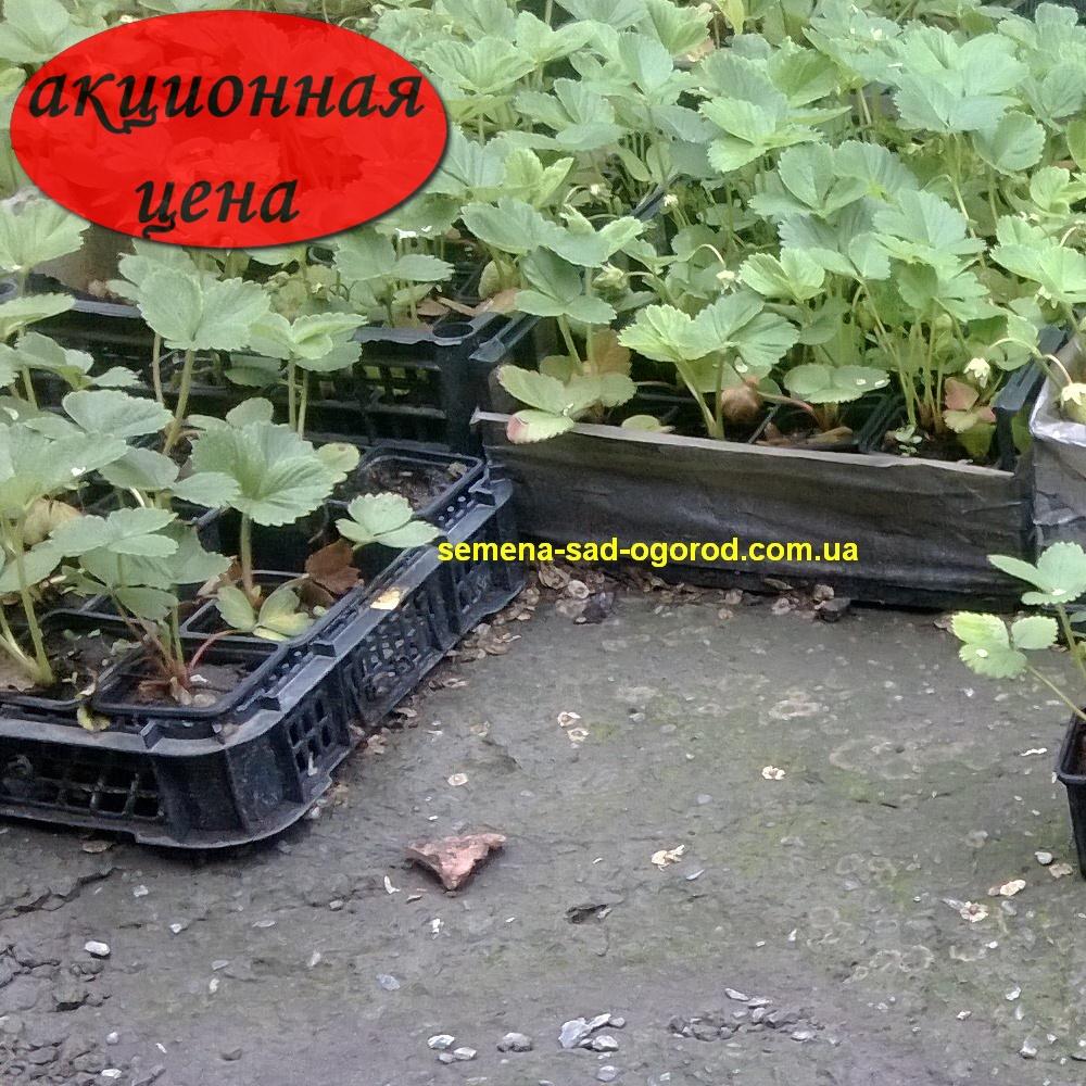 Выращивание рассады клубники из усов в стаканчиках 69