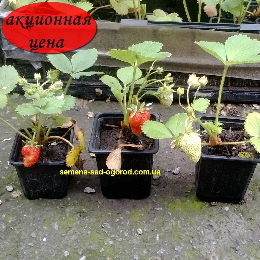 Выращивание рассады клубники из усов в стаканчиках 27