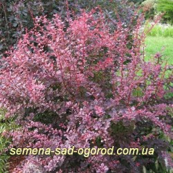 Барбарис Berberis thunb Harleginrop