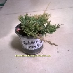 Можжевельник Juniperus horisontales Golden Carpet 1л